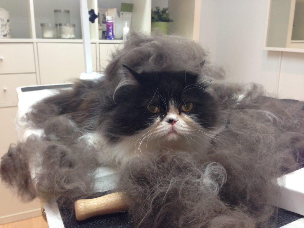 Mon chat perd ses poils dr florian cabello - Chat qui perd pas ses poils ...
